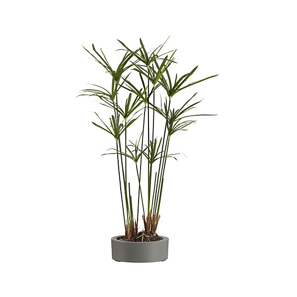 Potted Papyrus