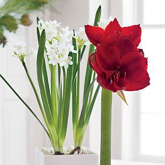 Add fresh color and sweet aroma to your holiday home with our seasonal bulbs. Kits include everything you need to grow a red amaryllis or bunch of paperwhites.BulbsGift boxedMade in multiple countries