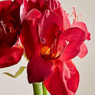 Red Amaryllis Flower Stem