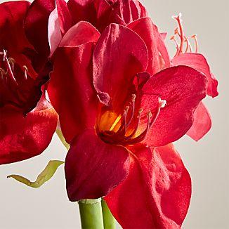 Red Amaryllis Flower Stem