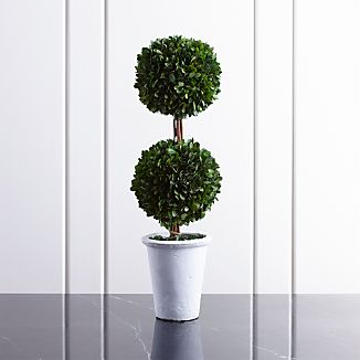 Potted Double Boxwood