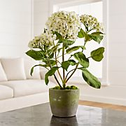 Potted Hydrangea Plant