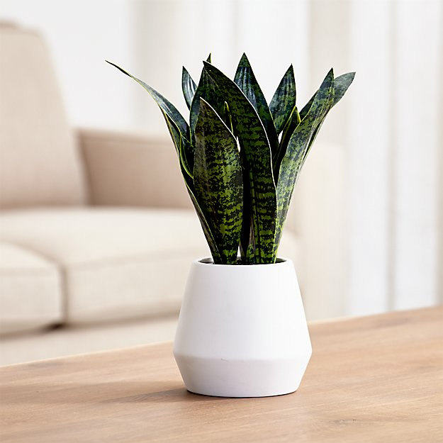 Artificial Snake Plant In Pot Crate And Barrel
